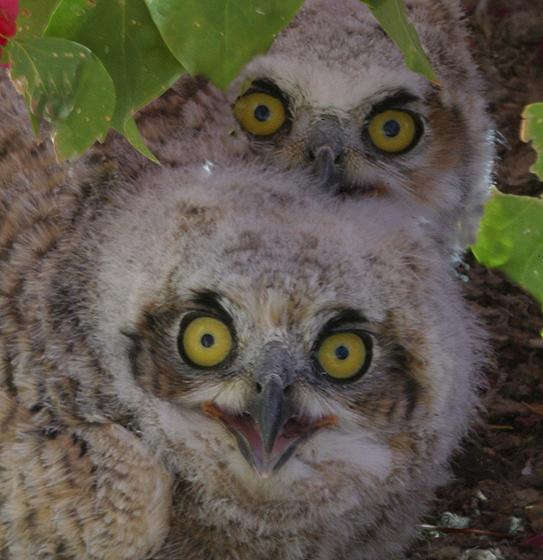 Hippauf Owls.jpg