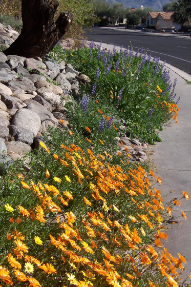 Wildflowers on Del Webb 08 SMITH2.jpg