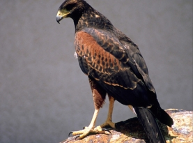 Hank's Harris Hawk.jpg